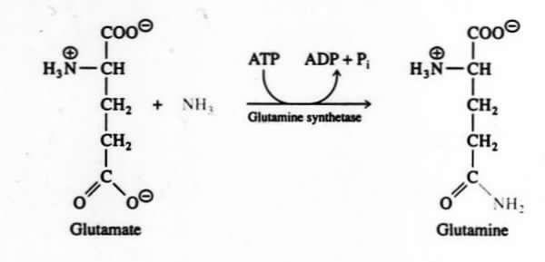 Image result for Glutamine